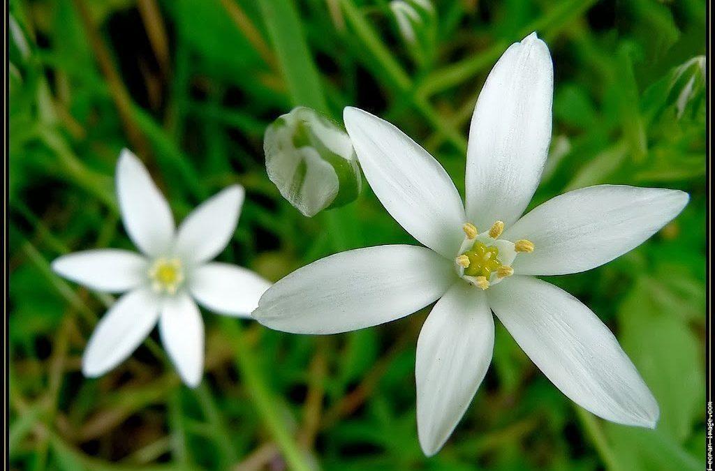 Deuil et fleur de Bach, Star of Bethlehem